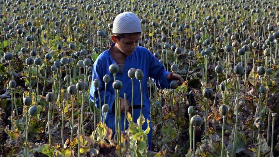 HØSTE: Afghansk gutt hjelper med opiumshøstingen. Foto: AFP / NTB Scanpix