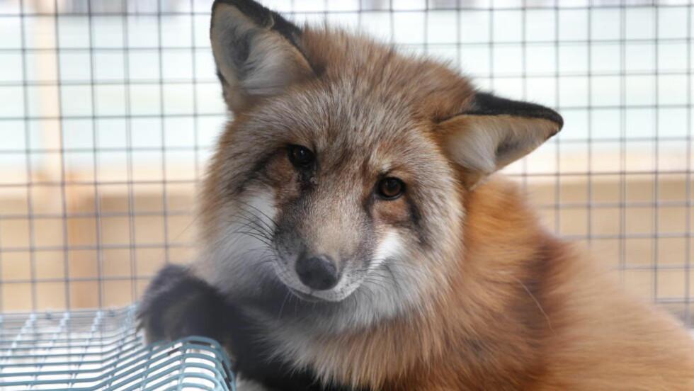 HUSDYR: Norske pelsdyr er godt tilpasset burmiljøet, skriver artikkelforfatterne. Foto: Ørn E. Borgen / Aftenposten / NTB Scanpix