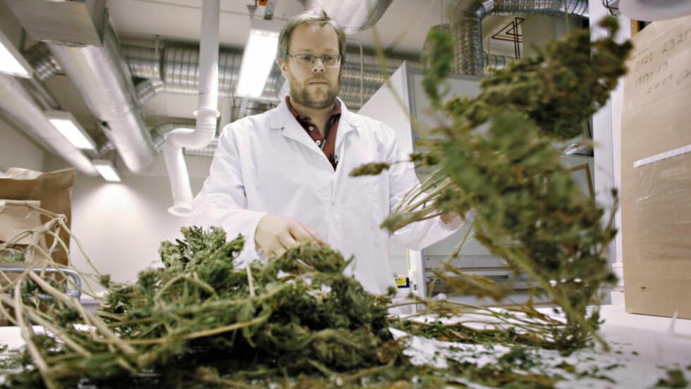 BESLAG: Hos Kripos viser senioringeniør i Leidolv Røv fram eksempler på ferdige utviklet cannabisplanter. En god plante høstes inntil tre ganger. Cannabis. Foto: Frank Karlsen / Dagbladet