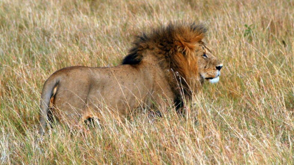 KENYA: Løve på savannen.  Foto: NTB Scanpix