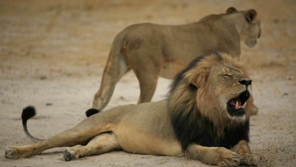 ULOVLIG VILT:  Løven Cecil ble lokket ut av en nasjonalpark i Zimbabwe og drept. Nå er jegeren, Walter Palmer, selv jaget. Foto: Zimbabwe National Parks Agency