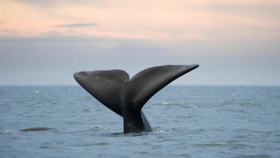 HVALER GIR OSS MER FISK: Nyere studier viser at hvalen øker havets produktivitet ved å gjødsle det med sin egen avføring, noe som igjen fører til mer plankton og deretter mer fisk, skriver kronikkforfatteren om en av syv myter han mener ikke stemmer i debatten om norsk hvalfangst. Foto: NTB scanpix