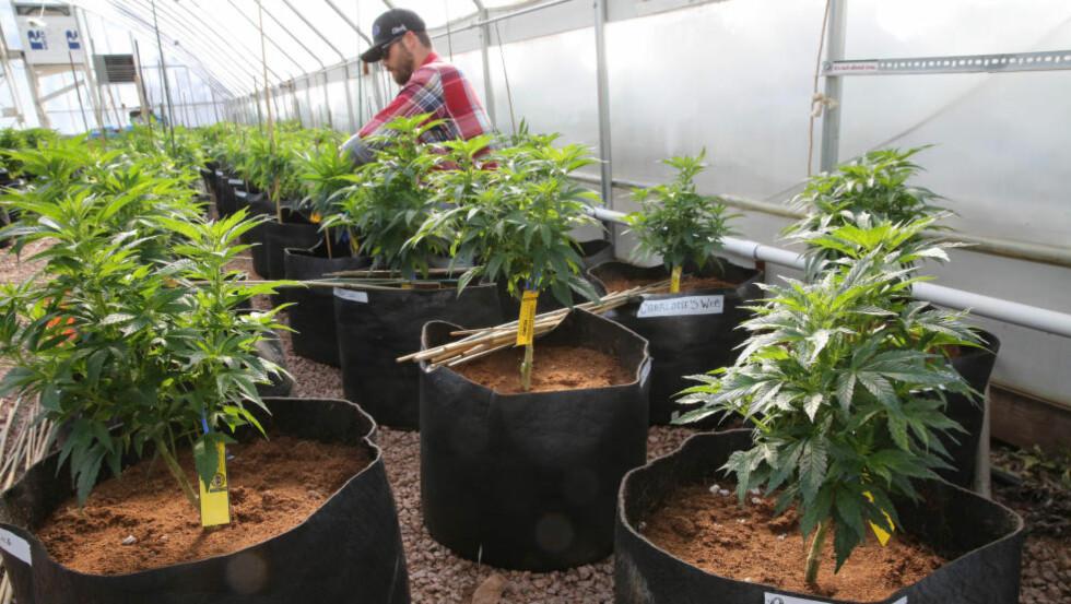 DYRKER: Det er nå lov å både bruke og dyrke cannabis i Colorado. Foto: AP / Brennan Linsley / NTB scanpix