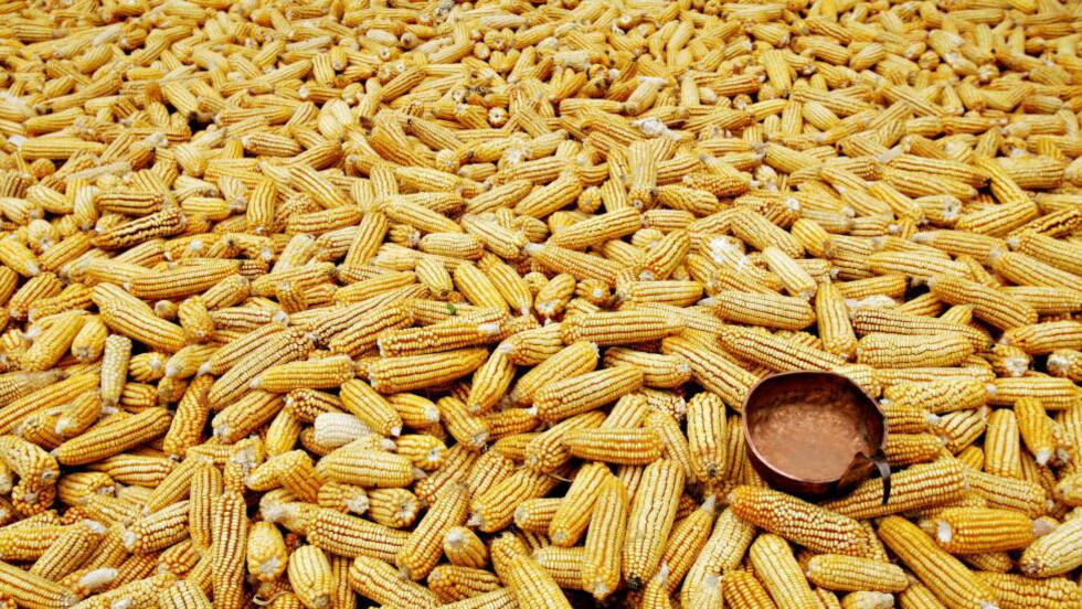MAIS: En av de vanligste genetisk modifiserte plantene. Er GMO løsningen på verdens matproblemer, eller et problem?   FOTO: NORDAHL/ALEKSANDER, Dagbladet.