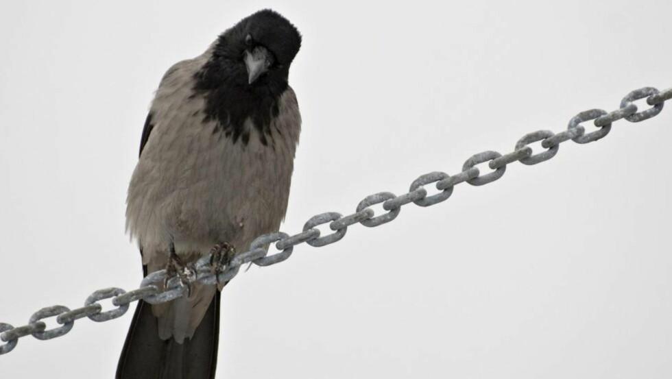 CORVUS CORNIX : Alt du vet og alt du garantert ikke vet om kråkene er nå mulig å lese seg fram til i boka «Kråker» (Forlaget Press). Foto: NTB Scanpix