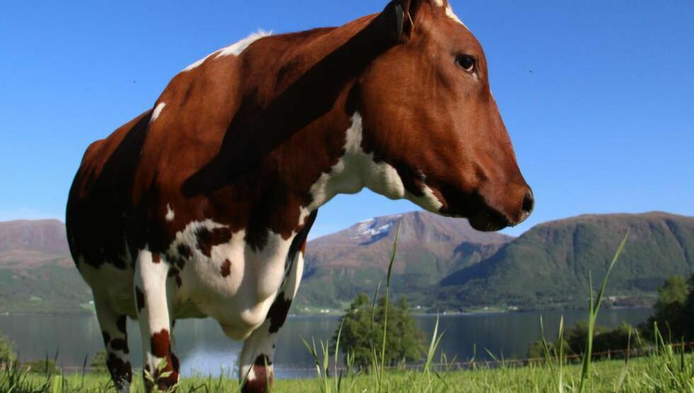 KUA MI: Jeg ga den kua som får mest kraftfôr og melker mest, veldig mye mer kraftfôr, og den som får minst kraftfôr og melket minst, veldig mye mindre kraftfôr, skriver artikkelforfatteren. Foto: Privat