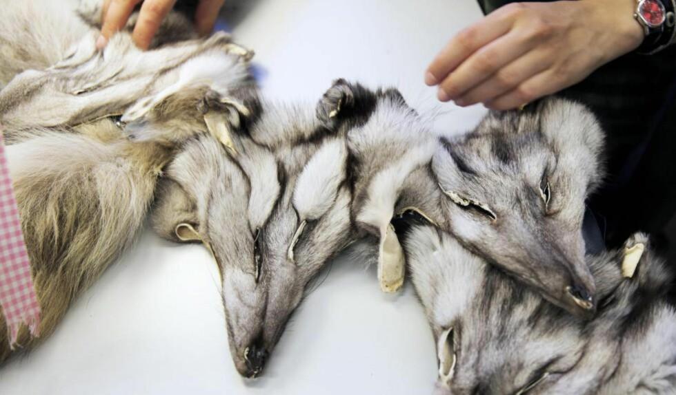 FØLGES OPP?  Vil Venstre, som er mot pelsdyropprett, huske dyrene når de nå skal inn i budsjettforhandlinger? spør Bastholm.   Foto: Berit Roald/Scanpix