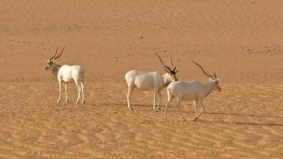 ADDAX: Nye undersøkelser slår fast at dette kan være de tre siste individene av arten Addax som lever utenfor fangenskap. Foto: Sahara Conservation Fund