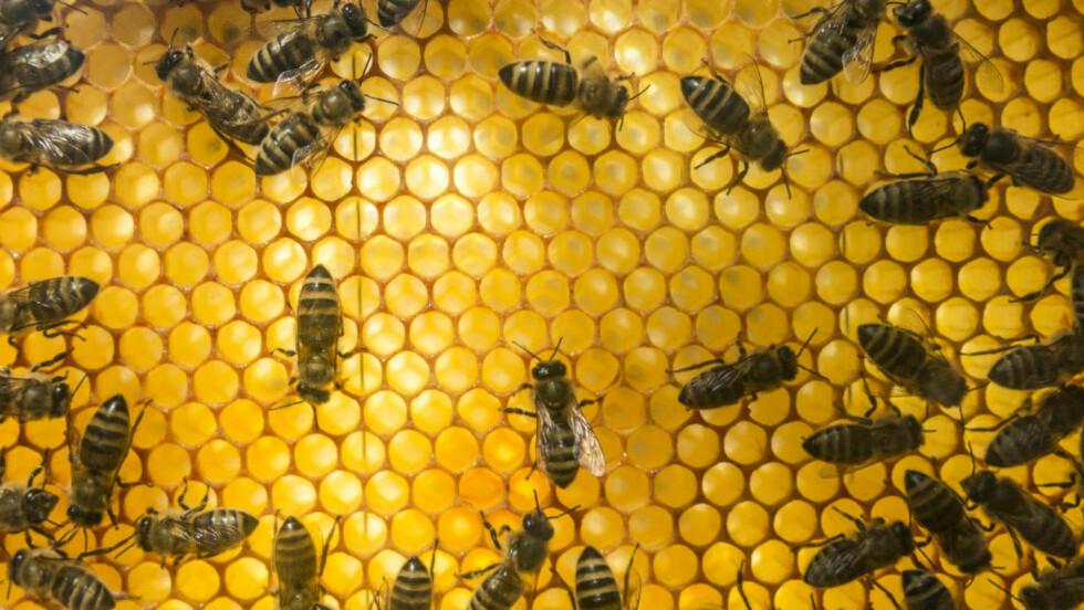 TRØBBEL I KUBEN: Bier i bikube på jJevnaker. Få innsekter har blitt gjenstand for så mye bekymring som biene de siste årene. Agronom Øystein Heggdal mener vi har bekymret oss unødig. Foto: Paul Kleiven / NTB scanpix