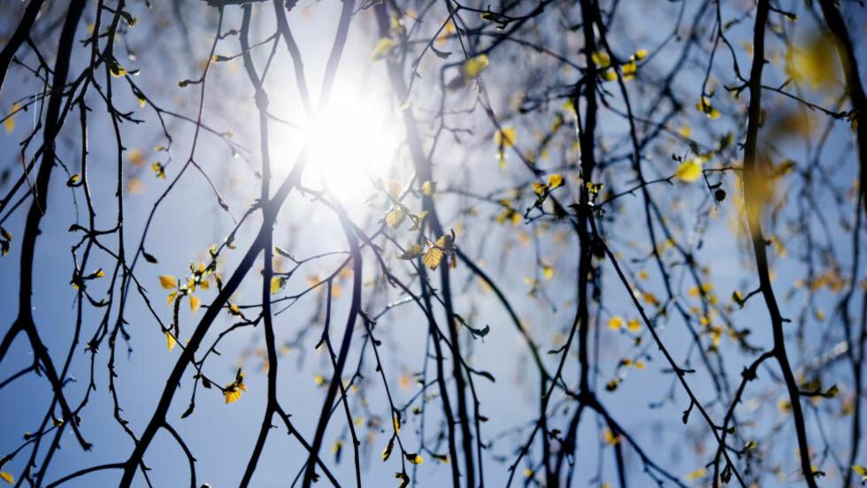 VARMERE VÅR: Våren i Norge blir varmere enn tidligere, ifølge utenlandske værvarslingsselskaper. Foto: Jessica Gow / TT Skir vårgrönska. Små björklöv och hängen. Foto: Jessica Gow / TT /