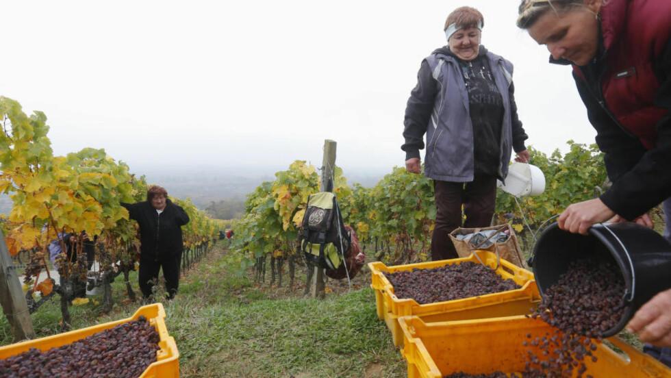 HISTORISK VINOMRÅDE: Tokaji ligger nordøst i Ungaren, på grensa til til Slovakia. Takket være fjellene som rammer inn området i nord, øst og vest, er sommeren og høsten varmere enn i de fleste andre ungarske vindistriktene. Totalproduksjonen ligger årlig på ca. 35 millioner liter. Bare hvit og søtvin produseres. Her fra innhøstingen av druer angrepet av edelråte i oktober 2013 i Tokaji. Foto: LASZLO BALOGH / REUTERS / NTB SCANPIX