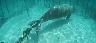 Dykkere fant utrydningstruet art bundet fast på havbunnen - skulle lokke turister