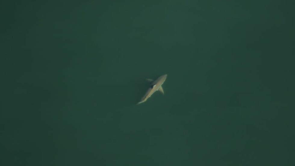 BLINKSKUDD:  Hvithaien ble fotografert fire nautiske mil utenfor kysten av Florida av forskere som egentlig var på flytur for å kartlegge retthval. FOTO: Florida Fish and Wildlife Conservation Commission, taken under NOAA research permit #15488