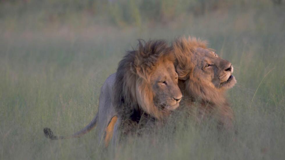 KOS: De to mannlige løvene ser ut til å nyte hverandres selskap. Dette er helt vanlig blant løver, som også gleder seg over sex som ikke direkte handler om reproduksjon, sier zoolog. Foto: T: Nicole Cambre/Rex Shutterstock /  Rex / NTB Scanpix.