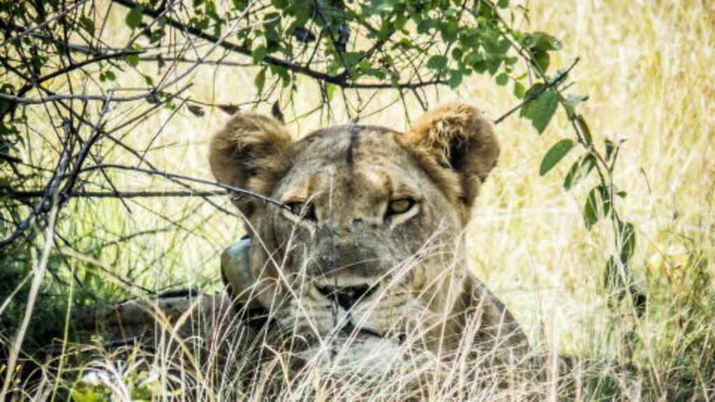 FØLGES NØYE: Harriet er 12 år, og en av nasjonalparkens dyktigste jegere. Rundt halsen har løvinnen en GPS-sender. Den uavhengige organisasjonen The Wildlife Conservation Society (WCS), har GPS-merket løvene i Ishasha siden 2005. Foto: PETTER LØKEN