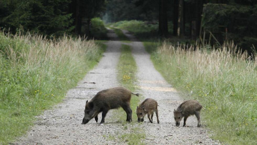 TRIVES:  Villsvin er blant de dyrene som har tatt tilbake Tsjernobyl etter ulykken i 1986. Foto: AP Photo/Matthias Schrader