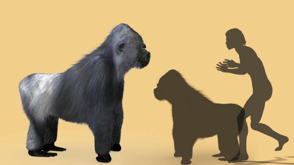KJEMPEAPE: Kjempeapen Gigantopithecus ville ikke, eller klarte ikke, å endre kosthold. Dermed døde den ut. Dette er en kunstners skisse av hvordan apen kunne ha sett ut. Illustrasjon: NTB scanpix
