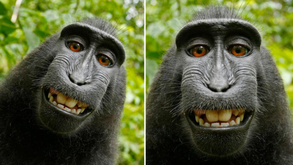 UKJENT IDENTITET: Det hersker forvirring om hvilken ape som tok disse øyensynlig glisende bildene av seg selv i 2011. Foto: Wikimedia commons