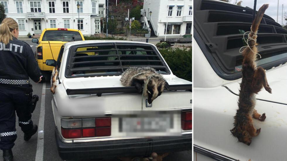 MAKABERT: Grevlingen er bundet til bilen med et tau om halsen, mens ekornet er festet i en antenne. Foto: 2400@db.no