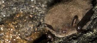 Flaggermusrabies påvist i Norge