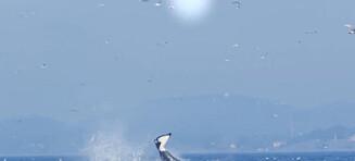 Unikt syn: Spekkhogger kaster sel 25 meter opp i lufta med finnen