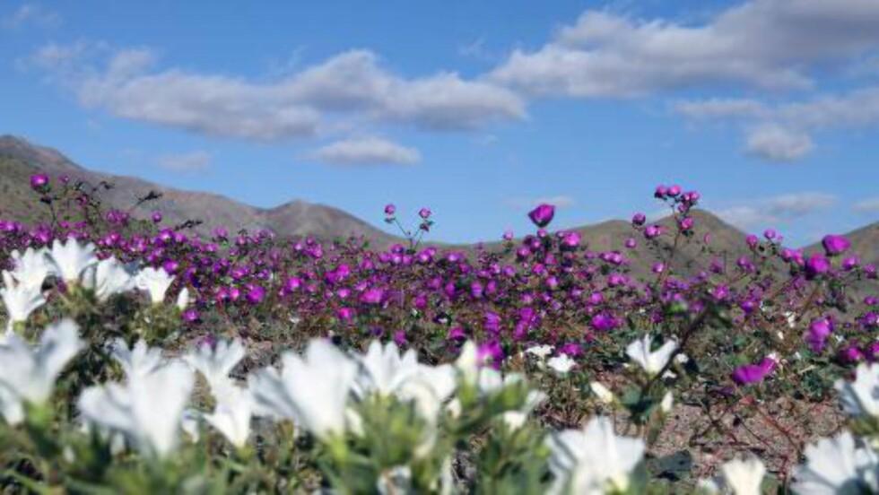 PENT: Blomstring i Huasco-regionen i Atacamaørkenen. Foto: AFP / CARLOS AGUILAR / NTB scanpix