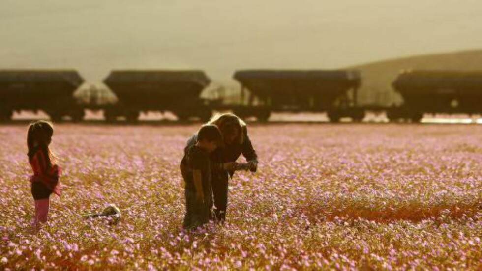 DOKUMENTERES: En familie dokumenterer den uvanlig kraftige blomstringen. Foto: EPA / MARIO RUIZ