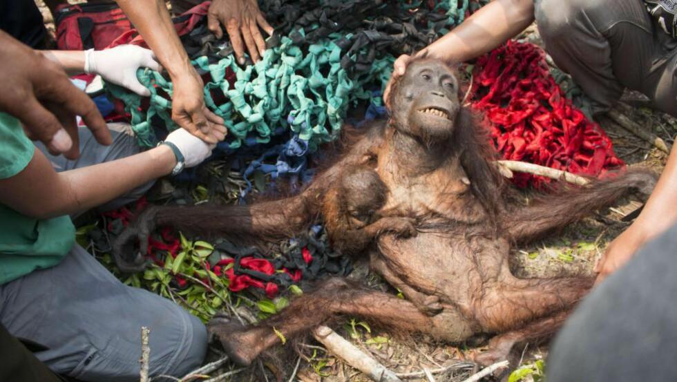 UTSULTET: En babyorangutang klynger seg til den svært underernærte moren sin etter at de begge ble funnet av dyrevernsforkjempere. Tusenvis av skogbranner herjer i Indonesias regnskog nå, og derfor skjer det stadig oftere at orangutanger tar seg inn til landsbyer for å finne mat. Dette liker ikke innbyggerne, og konflikter mellom orangutanger og mennesker har blitt vanligere. Orangutangene på bildet hadde tatt seg inn i landsbyen Kuala Satong i Indonesia, men ble angrepet av sinte innbyggere. Foto: AFP PHOTO / INTERNATIONAL ANIMAL RESCUE / HERIBERTUS