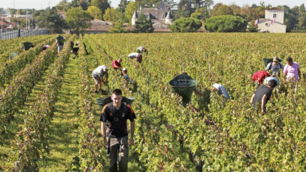 FIN VIN: Chateau Haut Brion trues av skogbrann. Her fra innsankingen av røde druer i 2013. Foto: AP / Bob Edme / NTB scanpix