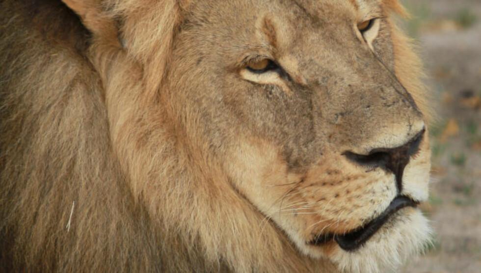 OPPRØR: Et stort opprør mot tannlegen Walter James Parker har gjort at han har gått ut med en beklagelse etter at han drepte den populære løven Cecil.