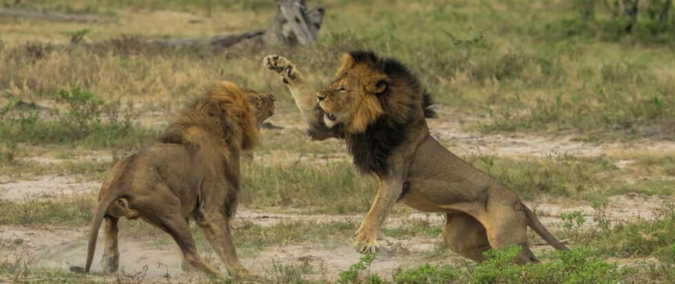 BEGGE ER DREPT: Løven Cecil leker her med sin bror Jericho i Hwange nasjonalpark i Zimbabwe.   Foto: Solent News / Splash News