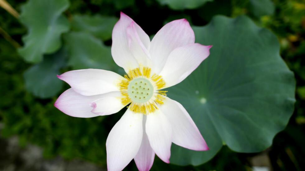 En sjelden og vakker lotus blomstrer i Botanisk hage ved Naturhistorisk museum mandag. Foto: Vegard Wivestad Grøtt / NTB Scanpix