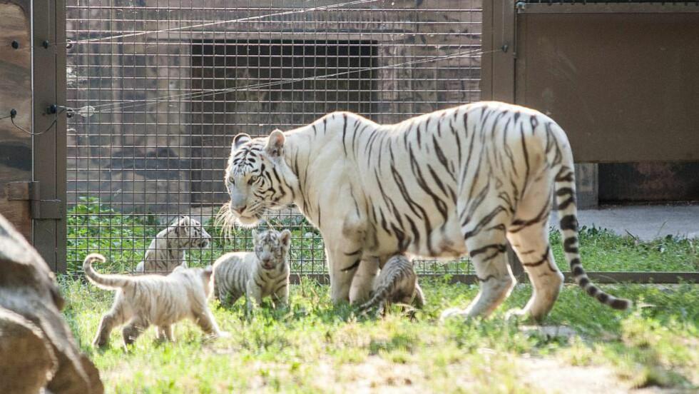 UTRYDNINGSTRUET: Seks krypskyttere ble skutt og drept av politiet da de jaktet utrydningstruede bengalske tigere i Bangladesh. Denne bengalske tigeren holder til i dyreparken i Budapest. Foto: Csaba Krizsan/MTI via AP/NTB scanpix
