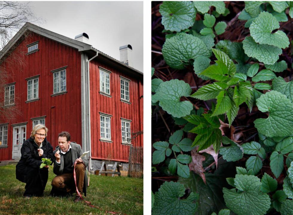 """15 METER FRA HUSVEGGEN: Ville urter er """"det beste jeg vet"""". Edle Catharina Norman og Andreas finner ville urter på Geitmyra rundt husveggen. Til høyre: Løkurt og skvallerkål. Foto: METTE RANDEM"""
