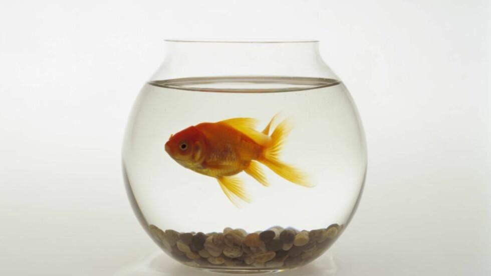 GULLFISKHJERNE?: Gullfisken er liten, men den gjennomsnittlige gullfisken evner å konsentrere seg om én ting lenger enn det gjennomsnittlige 2015-mennesket. Illustrasjonsfoto: NTB scanpix
