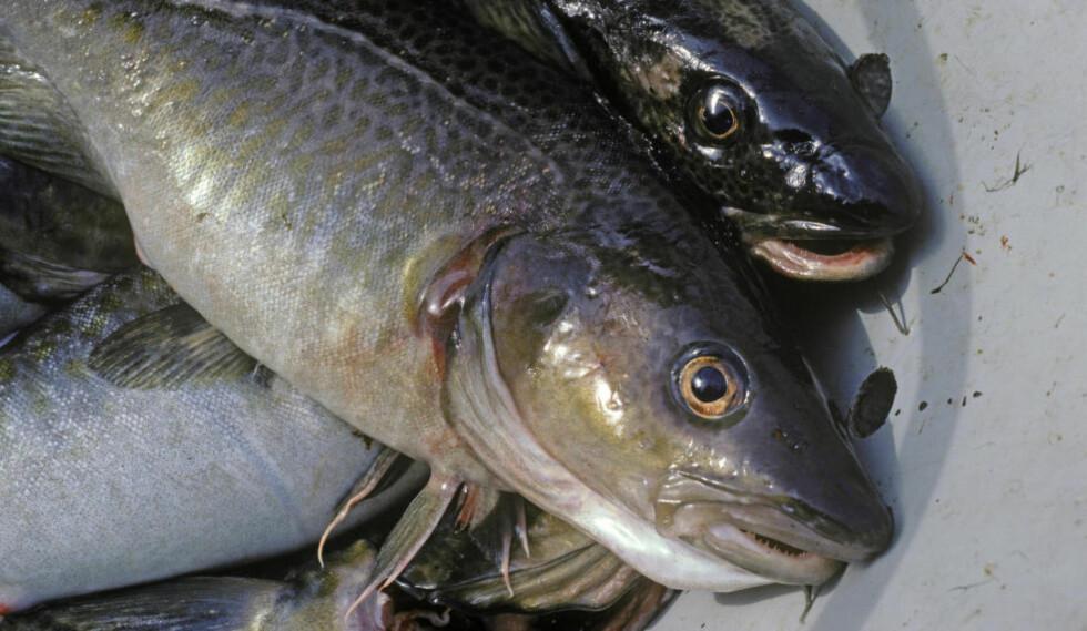 ADVARER: Mattilsynet advarer gravide, ammende og barn under fem år å spise torsk fra Indre Oslofjord. Foto: NTB Scanpix