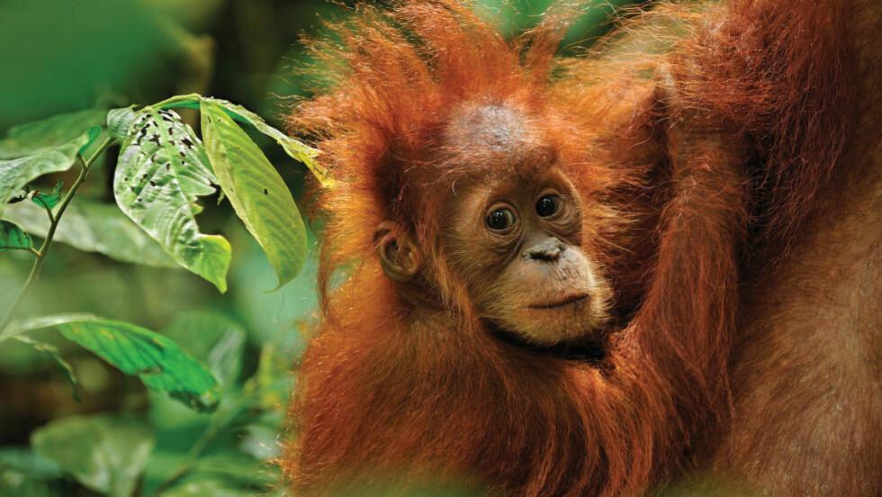 SÅRBAR SJARMØR: Små orangutanger fanges og selges som kjæledyr. Mødrene deres drepes av jegerne.