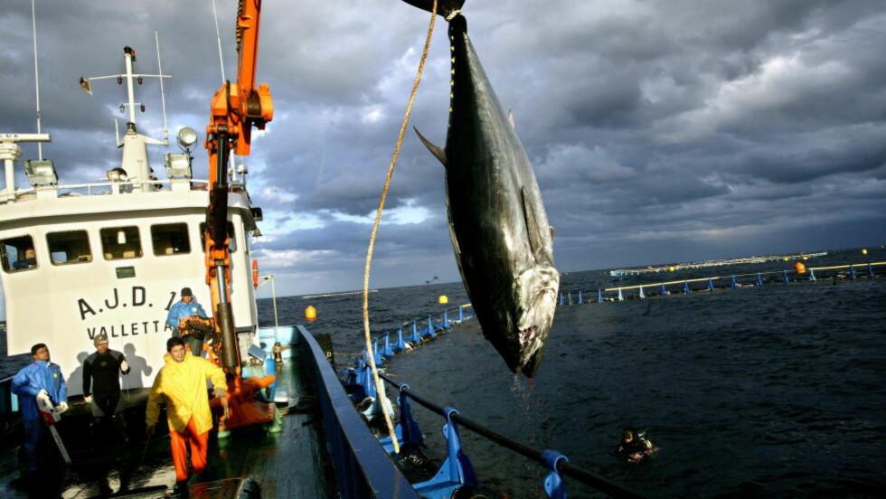 TUNFISK:  Foreløpig er den mest kjent for sitt fine kjøtt. Nå lanseres tunfisksperm som den nye gåseleveren. Her fanges en tunfisk på Malta.  Arkivfoto: HENNING LILLEGÅRD