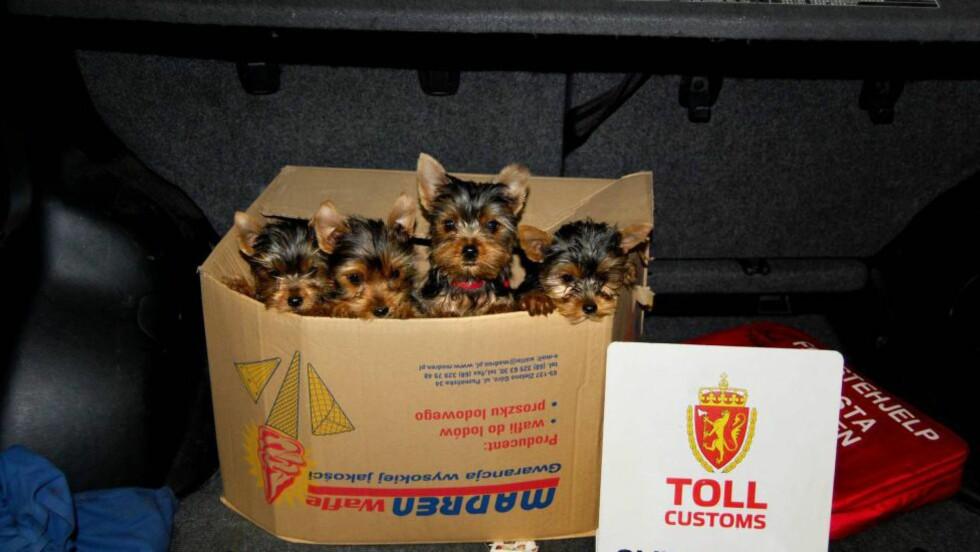 EGEN ENHET: Det skal opprettes en egen dyrepoliti-enhet, først i Sør-Trøndelag politidistrikt. Her hundevalper konfiskert av tollerne på Svinesund. Foto: Tollvesenet