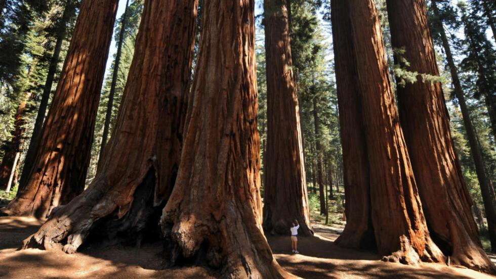FÆRRE STORE TRÆR:  Her står en kvinne ved siden av gigantiske Sequoia National Park i California. Redwood-trærne i disse områdene er verdens største, noen over 80 meter høye, men ny forskning viser at antallet giganttrær synker drastisk i delstaten. Foto: Mark Ralston / AFP Photo / NTB Scanpix