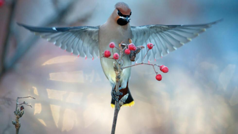 FUGLELYDER: «Norske fugler i byer og tettsteder» er en helnorsk variant av den populære fugleboka «Fuglesang», med bilder, tekst og lyd. Foto: FRA BOKA
