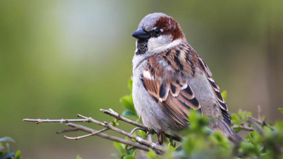 FÆRRE ENN FØR: Spurv er blant fugleartene det er færre av enn før, viser en ny forskningsrapport. Foto: Susanne Nilsson / Creative Commons