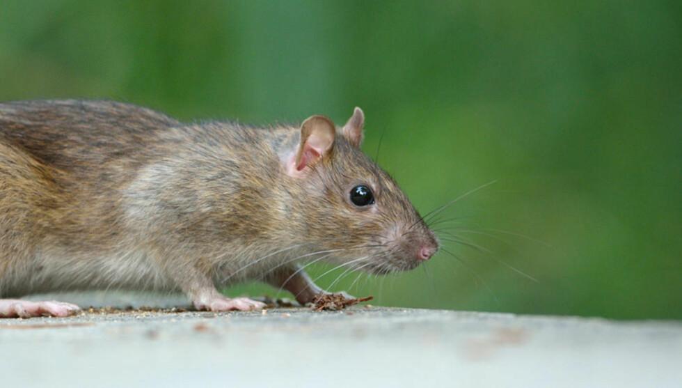 FRIKJENNES:  Det var ikke rotta som brakte svartedauden til Europa og Norge, men loppa, ifølge norsk forsker. Foto: Jean-Jacques Boujot/Flickr/Creative commons