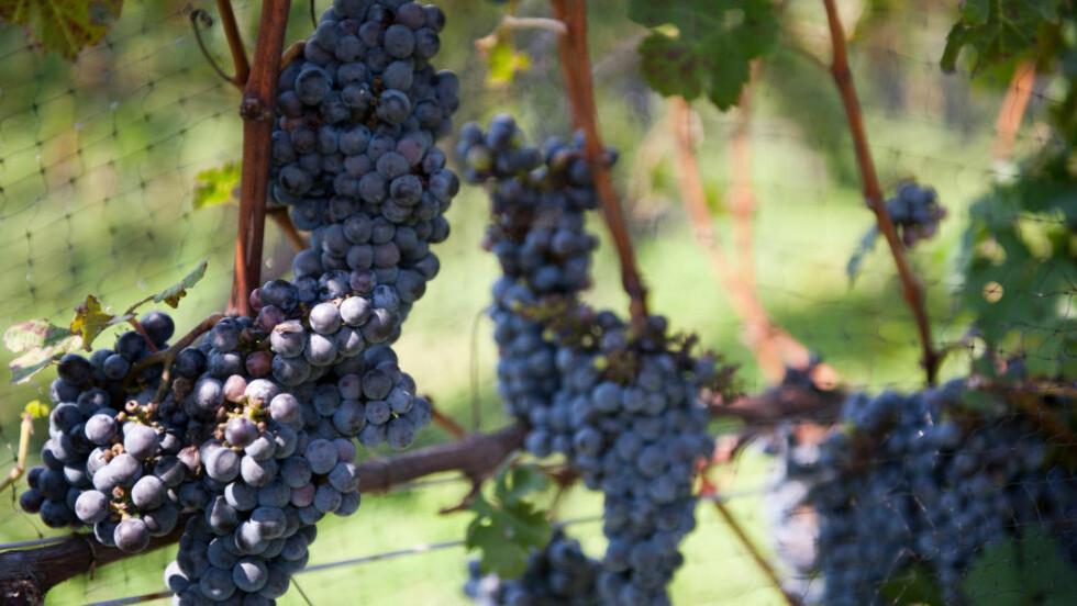 HARDHAUS: Cabernet Sauvignon-druer har tykt skall, og er kjent for å tåle både frost og andre trusler fra naturen, som insekter. Det gjør at den kan dyrkes i mange deler av verden. Foto: bigbirdz/Wikimedia Commons