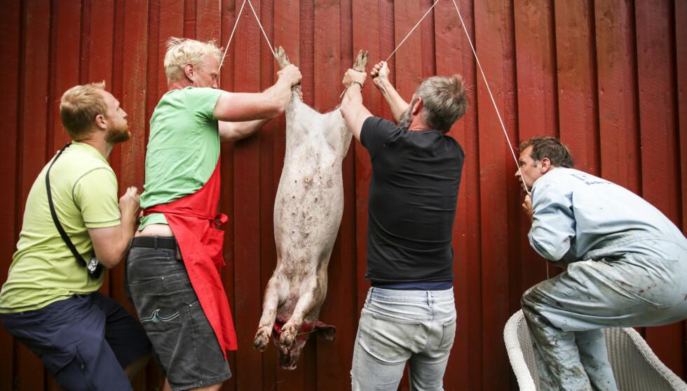 FRA DYR TIL MAT: Gradvis, nesten umerkelig, blir Salami forvandlet fra en gris vi kjente, satt pris på og så som et individ, til en skrott som henger der. Kjøtt som vi skal spise, men med en helt spesiell verdi for oss.