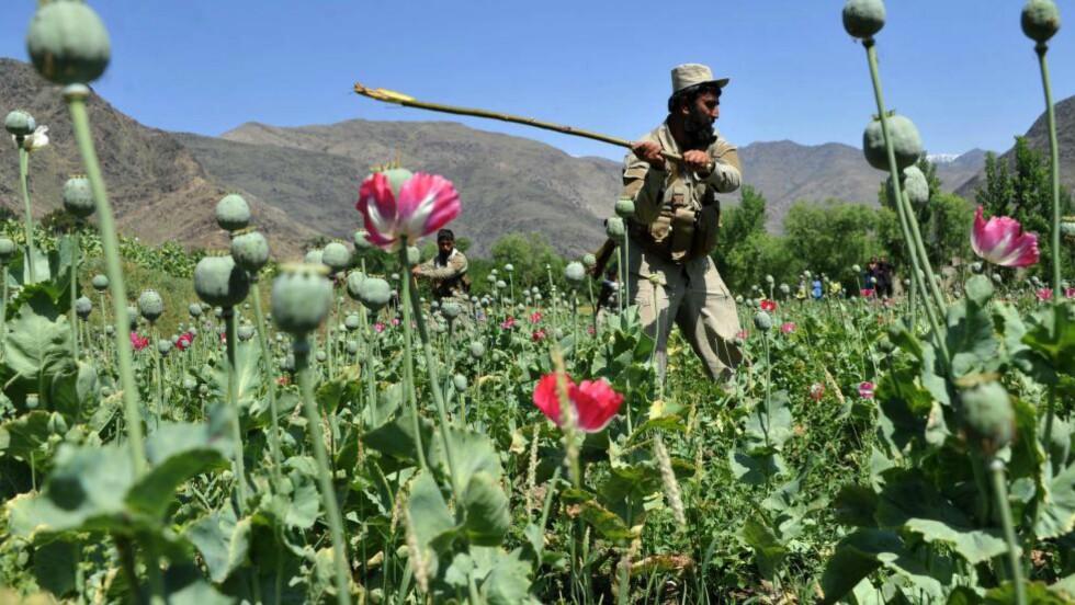 VANSKELIG KAMP: Afghanske soldater hogger ned planter på en opiumsplantasje i Noor Gal-distriktet i Kunar-provinsen i Afghanistan. Men produksjonen av opium øker. Foto: AFP / NTB scanpix