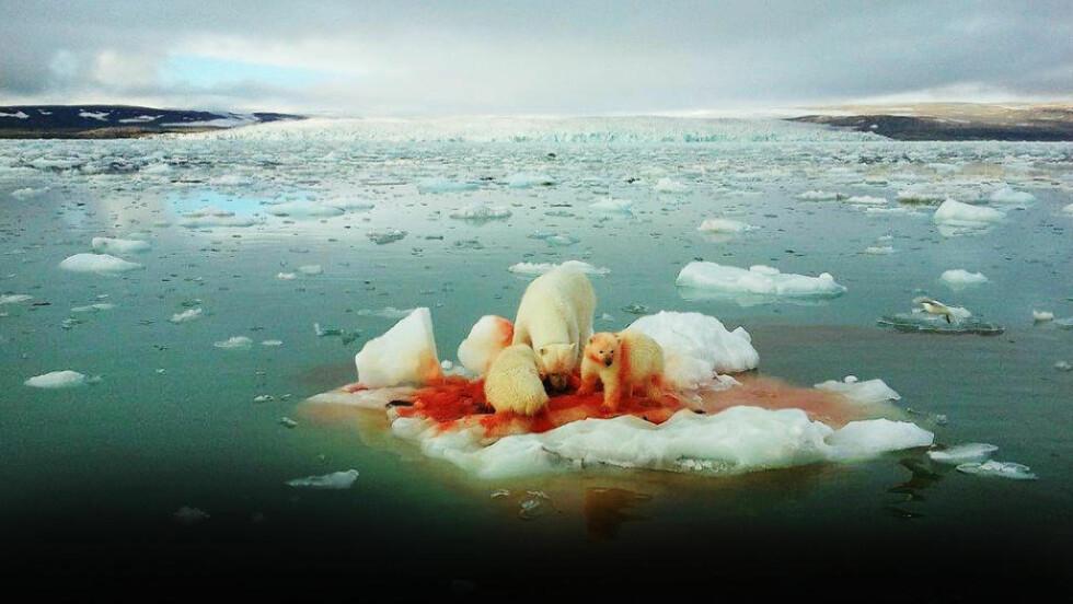 MATMANGEL: En isbjørnbinne og to unger har fortært en nyfanget sel på et isflak ved Svalbard i 2011. Isbjørnen har havnet på ei liste over utrydningstruede dyrearter. Foto: Kristian Brandsøy