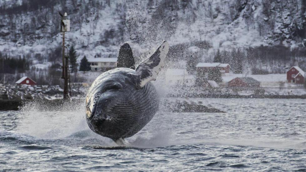 AIR HVALWAYS:  Det er ikke ofte man får se slike bilder av hoppende hvaler, men Karl-Otto Jacobsen i Tromsø klarte å forevige dette øyeblikket. Foto: Karl-Otto Jacobsen