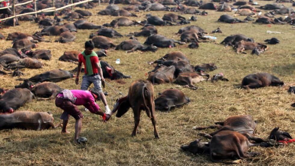 OFRES: Nok en vannbøffel bøter med livet under den rituelle masseofringen ved Gadhimai-tempelet i Nepal. Under den forrige festiavlen - i 2009 - ble 200.000 dyr og fugler ofret. Foto: AP Photo/Sunil Sharma