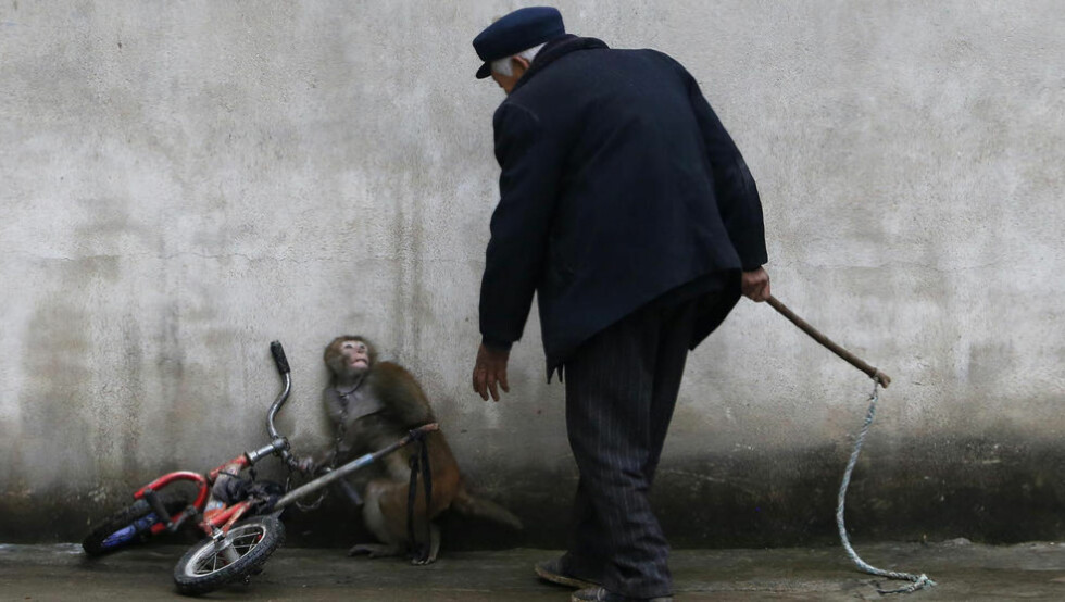 SLIPPER IKKE UNNA: Lenket til sykkelen, slipper ikke apen unna, når Qi Defang kommer med pisken for å få den til å underholde på sirkuset i kinesiske Suzhou. Foto: Reuters / NTB Scanpix